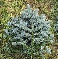 Pyntegrønt Sorø, Blågrøn dekorationsgren