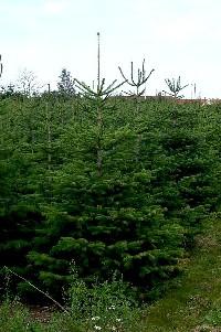 Juletræ Sorø, nordmannsgran I-II mix - 2,00-2,25