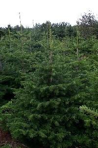 Juletræ Sorø, nordmannsgran I - 1,75-2,00