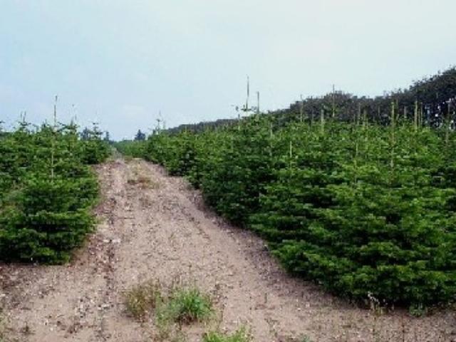 Juletræ Sorø, grønne juletræer på begge sider