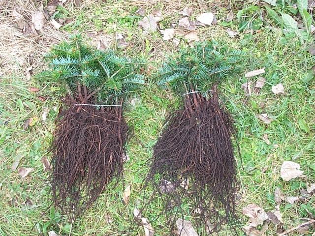 Grønne planter Sorø, nordmannsgranplanter
