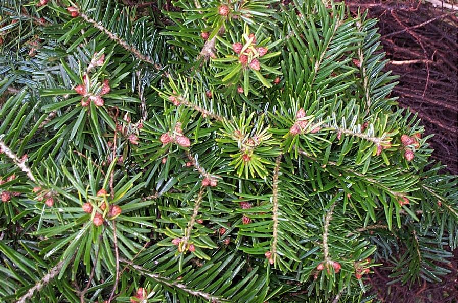 Grønne planter Sorø, nordmannsgranplanter med flot rodnet