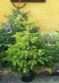 Juletræ Sorø, nordmannsgran pottegroet prima