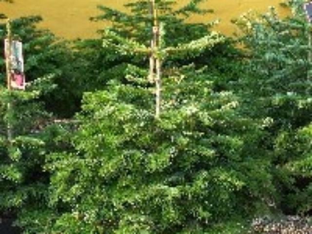 Juletræ Sorø, nordmannsgran pottegroet standard
