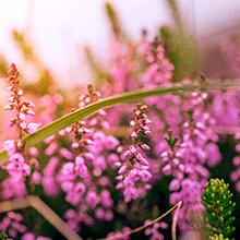 Blomster Sorø, lyserød blomst