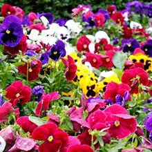 Blomster Sorø, farverige sorter